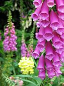 stock photo of english cottage garden  - Splendid foxgloves in an english country garden - JPG