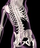 stock photo of spine  - 3D render of a female medical skeleton with a close up of the spine - JPG
