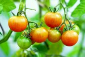 stock photo of tomato plant  - red sherry tomatoes on the plant in greenhouse - JPG