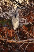 stock photo of mimicry  - mimicry of blue heron in the foliage in autumn - JPG