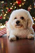 Bichon Frise. Bichon Frise Christmas Portrait. 27 pound rescue dog. Bichon dog under a Christmas tre poster