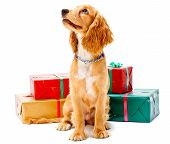 picture of puppy christmas  - A cute puppy sitting with some wrapped gifts - JPG