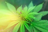 Grow Legal Recreational Cannabis. Northern Light Strain. Cannabis Flower Indoor Growing. Grow In Gro poster