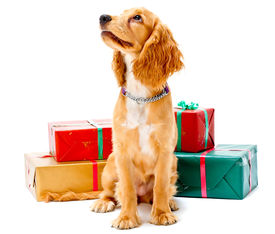 stock photo of puppy christmas  - A cute puppy sitting with some wrapped gifts - JPG