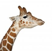 Somali Giraffe, commonly known as Reticulated Giraffe, Giraffa camelopardalis reticulata, 2 and a half years old close up against white background poster