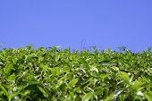 pic of tatas  - green tea plantation horizon in kerala india  - JPG