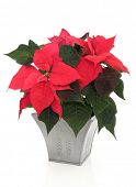 Poinsettia flower arrangement in a pewter vase over white background.