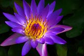 stock photo of water lilies  - A beautiful tropical water lily captured in Maui Hawaii - JPG