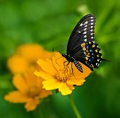 picture of nana  - Black Swallowtail butterfly  - JPG