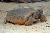 pic of gopher  - Gopher Tortoise  - JPG