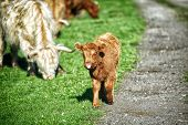 foto of longhorn  - Baby Longhorn Cattle grazing in a field - JPG