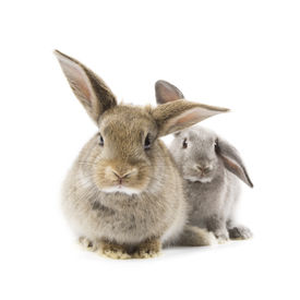 stock photo of bunny rabbit  - Two adorable rabbits isolated on a white background - JPG