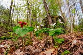 stock photo of trillium  - A Red Trillium erectum growing amongst White Trillium grandiflorum on the forest floor - JPG