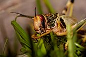 pic of locusts  - one locust eating the grass in the nature  - JPG