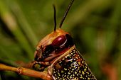 image of locusts  - one locust eating the grass in the nature  - JPG