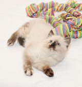 pic of heartwarming  - Fluffy kitten seal point lies coiled serpentine on white background - JPG