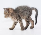 stock photo of heartwarming  - Striped fluffy kitten goes arching tail on white background - JPG