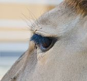 foto of eland  - Taurotragus oryx - antelope in hungarian zoo.