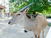 picture of eland  - Taurotragus oryx - antelope in hungarian zoo.