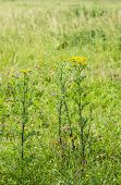 picture of ragweed  - Closeup of a yellow blooming Ragwort or Jacobaea vulgaris plant in its natural habitat on a sunny day in summertime - JPG