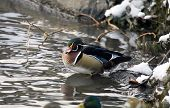 picture of duck pond  - Duck in winter pond Carolina Wood  - JPG