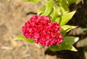 stock photo of celosia  - beautiful Cockscomb flower  - JPG