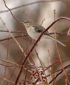 pic of mockingbird  - A Northern Mockingbird coughing up a pellet while perched in a multiflora rose thicket - JPG