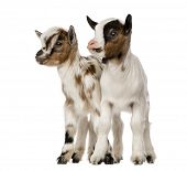 stock photo of herbivore animal  - Two Young domestic goats - JPG