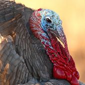 stock photo of wild turkey  - A male Wild Turkey in breeding plumage during spring in New Mexico - JPG