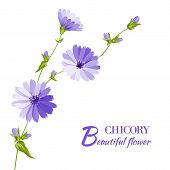 foto of chicory  - Blue chicory flowers isolated on white background - JPG