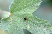 picture of hollyhock  - flea beetle on a hollyhock, pest infestation
