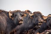 picture of moo-cow  - Mooing Asian water buffalo  - JPG