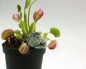 picture of flytrap  - Fly Trap plant caught the cash coin