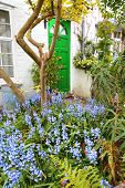 foto of english cottage garden  - Beautiful bluebells garden in front of the house in Spring time  - JPG