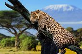 stock photo of kilimanjaro  - Leopard sitting on a branch on a background of Mount Kilimanjaro - JPG