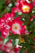foto of climbing roses  - Beautiful red roses for vertical gardening vertical photo - JPG