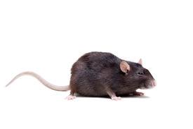 image of rats  - Rat - JPG