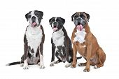 image of boxers  - a group of three boxer dogs sitting in front of a white background - JPG
