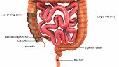 picture of gastrointestinal  - The human gastrointestinal tract  is an organ system responsible for consuming and digesting foodstuffs - JPG