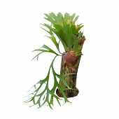 stock photo of epiphyte  - Staghorn fern on stump isolated on white background - JPG