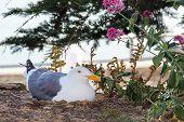 stock photo of alcatraz  - Western Gull nesting on Alcatraz Island - JPG