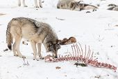 stock photo of horrific  - A lone Timber wolf in a winter scene  - JPG
