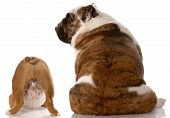 image of derriere  - two english bulldogs sitting with back to viewer with reflection on white background - JPG