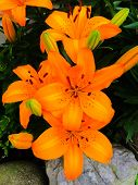 image of lilly  - Striking orange Tiger Lilly in a family garden.