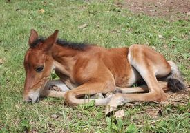 picture of colt  - My three day old colt Rodeo laying in the grass - JPG