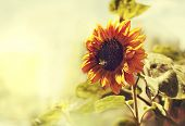 stock photo of sunflower  - Bright yellow sunflowers and sun - JPG