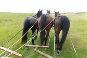 image of tilt  - Horses with tilt car in the nature from Dutch wadden island Terschelling - JPG