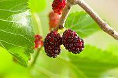 foto of mulberry  - Close - JPG