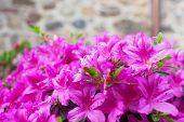 stock photo of azalea  - Big bush of an violet azalea in the yard near a stone wall of the house - JPG