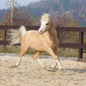 pic of arena  - Gorgeous welsh mountain pony running in arena with autumn background - JPG